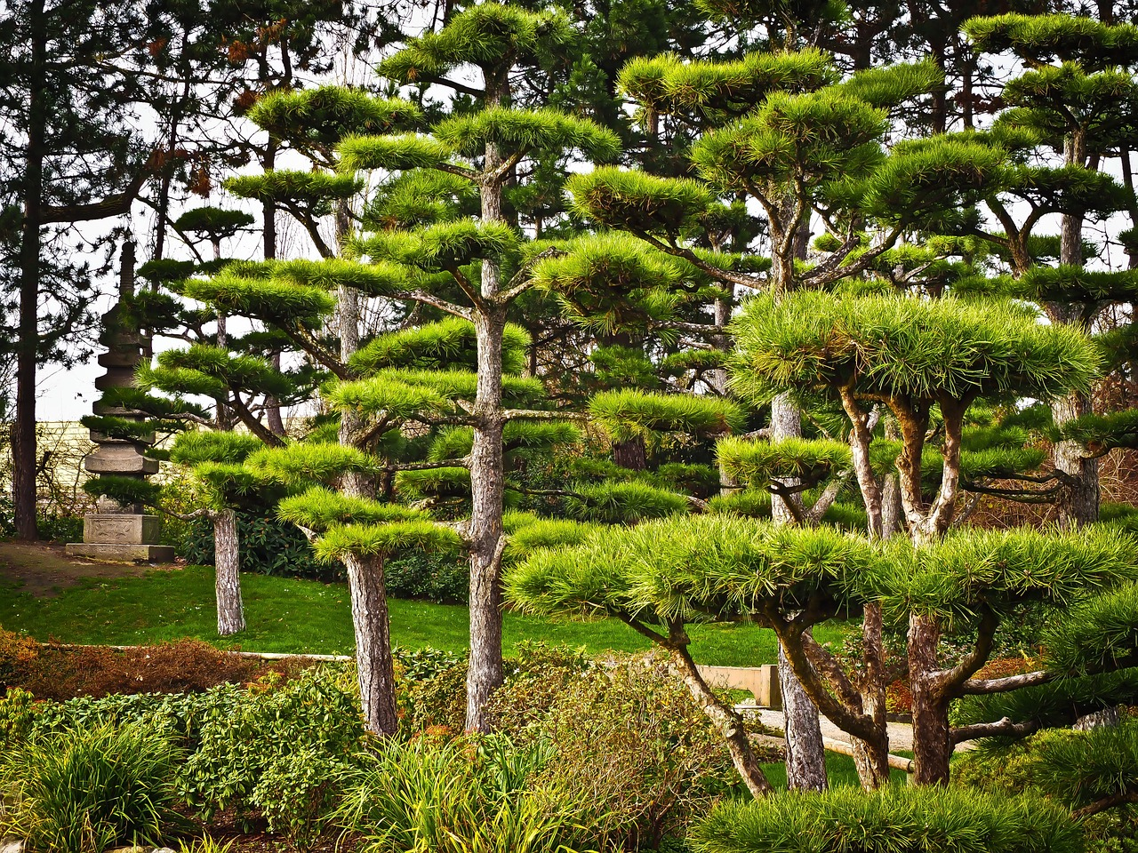 Japanese Yew Trees