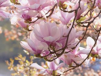 Magnolia Flowers in Detail