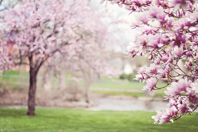 Magnolias in Flower
